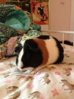 Guinea Pig Stock 5 by jackiehorse