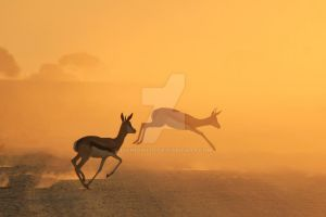 Springbok - African Wildlife - Golden Speed by LivingWild