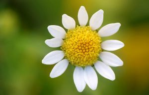 Anthemis by efeline