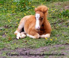 Kerry Bog Pony 1 by EquineStockImagery