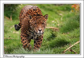 Jaguar on the move by CharmingPhotography