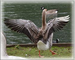 Dancing Duck by FrankAndCarySTOCK