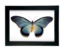Giant Blue Swallowtail Display (Papilio Zalmoxis) by TheButterflyBabe