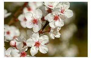 prunus serrulata by bracketting94