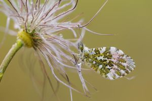 Anthocharis cardamines II by mescamesh