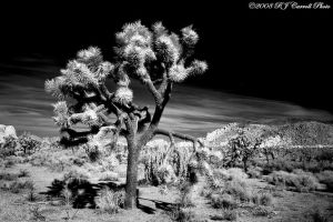 Joshua Tree by rjcarroll