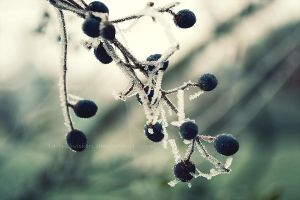 icy berries by 14th-division