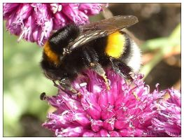 Bumble-bee 2 by schnegge1984