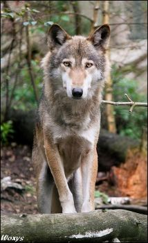 Eurasian wolf: staying proudly by woxys