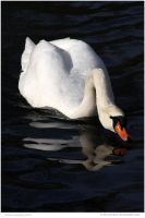 Swanning About by In-the-picture