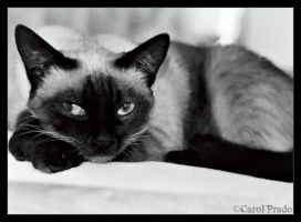 my siamese little one by karolkorn