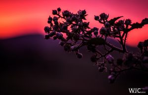 Budding Sunset by WilljCreations