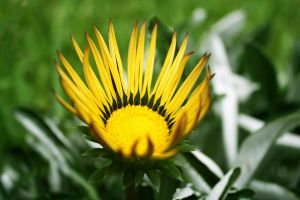 sunny flower 2 by paujas