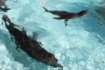 Sea Lions Swimming in pairs by myeyesinthemirror