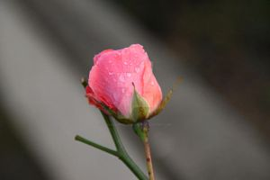 Rose by KayleighBPhotography