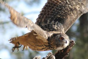 Eurasian Eagle Owl in Flight by OrioNebula