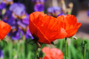 Poppy Group 2 by Tyyourshoes