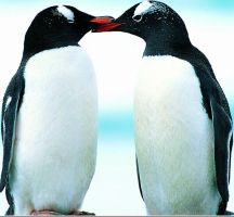 Gentoo Penguins by Bird-Lover25