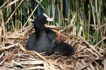 Coot and Chick by cycoze
