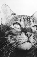 Tabby Cat by InjectVibrancy