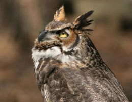 Great Horned Owl 20D0034757 by AnimalPlanetClub