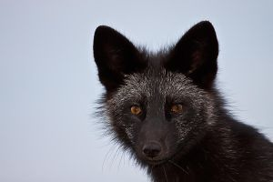 Young Black Fox in the Wild 5 by Witch-Dr-Tim
