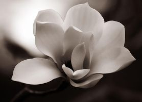 magnolia in bw by cenevols