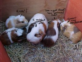 Guinea-pigs RULE by BloodDragon