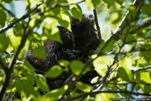 Porcupine in a tree by imonline