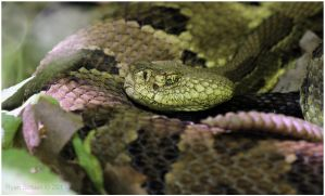 Timber Rattlesnake by Ryser915
