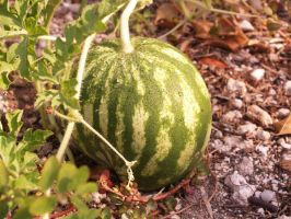 Watermelon and dew by Ratstien