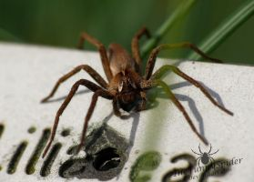 Nursery Web Spider resting by TheFunnySpider