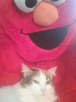 My cat loves her new elmo bed! by peytonisfree