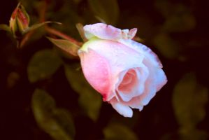 February rose 8 by yasminstock