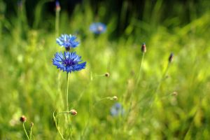 meadow of cornflower. by lubiekakao