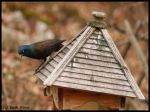 Grackle by Through-the-Lens234