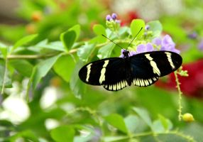 Black and Yellow Longwing by TheSleepyRabbit