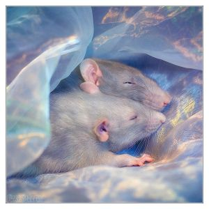 Dreaming - Fancy rats