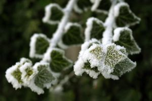 white frost on ivy by Sintija