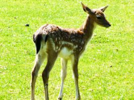 a fawn by ThePusch