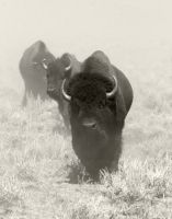 Bison- Northern Colorado by jsegraves99