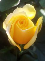 LITTLE YELLOW ROSE ~ on my balcony by DAGAIZM