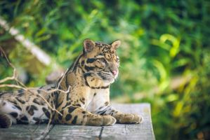 Clouded leopard by Lindqvist