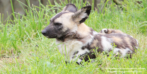 African Wild Dog by Renathory