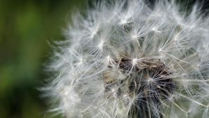 Dandelion Seeds by audiomad