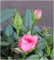 Pretty pink Roses 1 by Kattvinge
