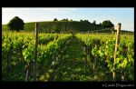 Bodensee Vineyard, Germany by catalindragosh