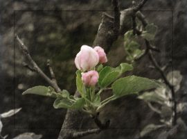 Apple Blossom Buds by Tranquil-Insanity