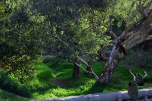 Eucalyptus Trees by pinknfuzzy4711