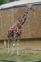 Giraffe Stock 02 by Jaded-Night-Stock